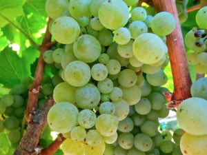 Cluster of Shot-Wente selection Chardonnay grapes