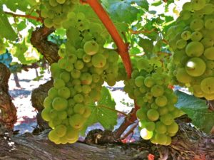 Shot-Wente selection Chardonnay at the Larson Vineyard