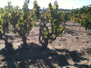 140-year-old Carignan vines