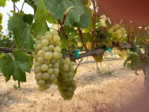 Shot-Wente selection Chardonnay clusters developing in vintage 2020