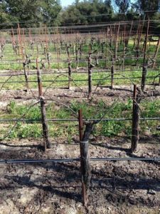 Parcel of Placida Pinot Noir planted to Joe Swan budwood selection