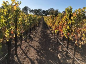 The rows in Smith's Vineyard run effectively east and west to capture the full arc of the sun