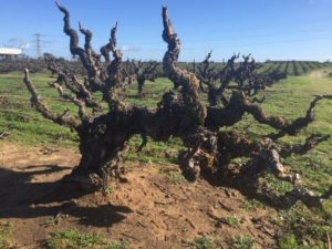 An old Carignan vine at the Evangelho Vineyard