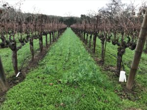 Left Bank Red Merlot vineyard in late January