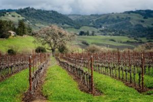 The Sangiacomo Family Pinot Noir Vineyard at Roberts Road in the Petaluma Gap AVA