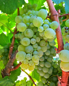Shot-Wente Selection clusters on Larson Vineyard vines in southern Carneros
