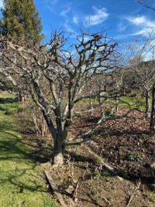 A 20-year-old Pippin Apple tree