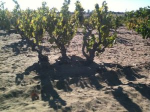 Old Carignan vines in the Evangelho Vineyard in Oakley